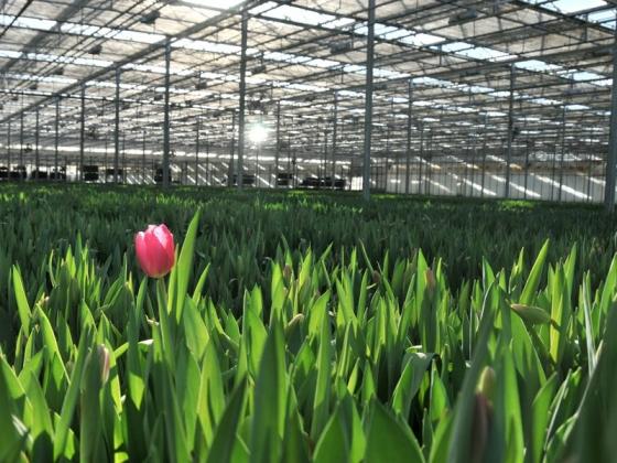 We grow tulips year round in Arcata, California