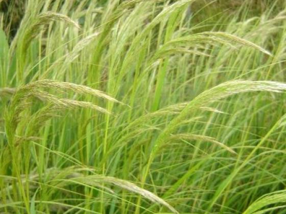 Specialty Crop: Ornamental Grasses